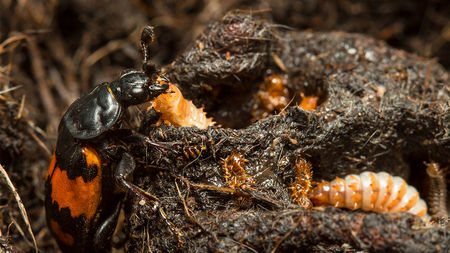 A beetle parent lovingly caring a grub.