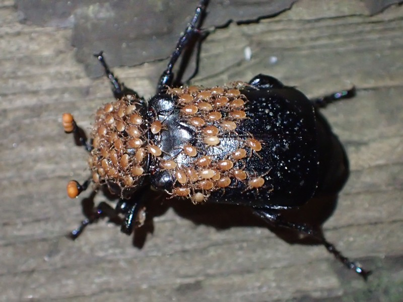 A beetle covered in dozens of pale mites.
