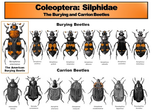 A detailed infosheet showing the different species of carrion beetles.